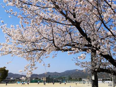 グラウンドの桜