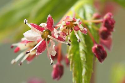 イロハモミジの雄花